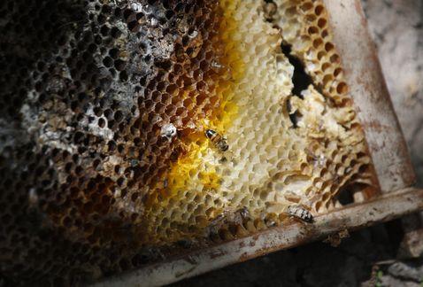 Las Abejas en México en Peligro por los Neonicotinoides